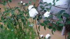 Roses de Mamie Nicolas -2012